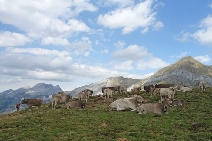 A lazy stroll across hills strewn with cows and sheep
