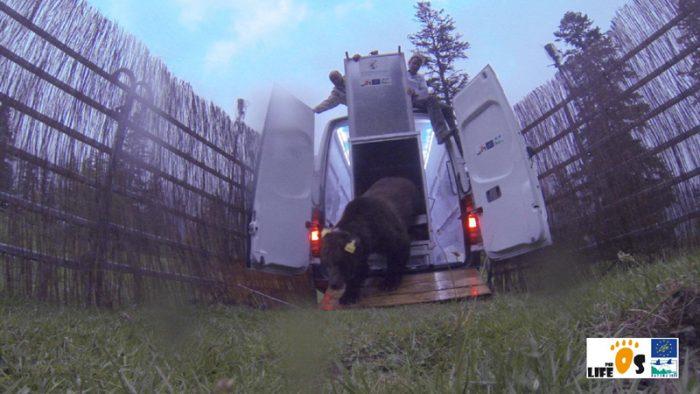 Goiat, ours slovène, lors de ses premiers pas dans les Pyrénées