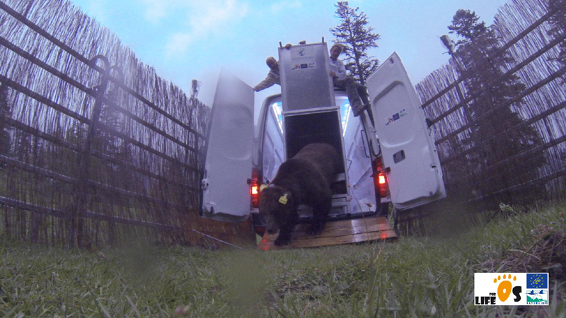 Goiat, Slovenian bear released in the Catalan Pyrenees in 2016