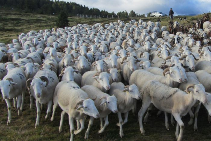 Transhumance on the Plateau de Beille