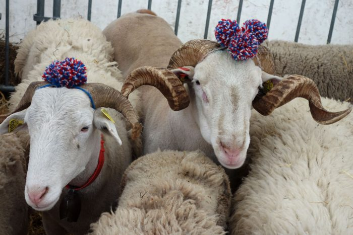 Sheep at the Tarascon fair