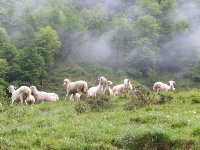 Sheep in the high Ariège