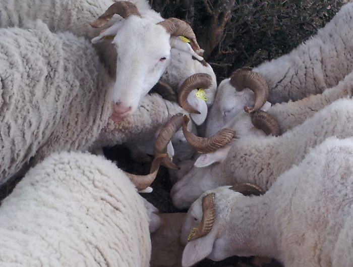 Tarasconnaises sheep