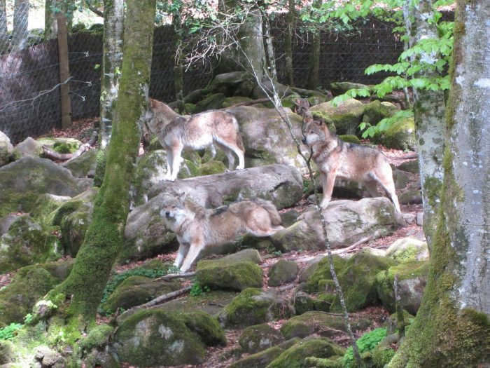 Wolves in the Maison des Loup, Orlu, Ariège