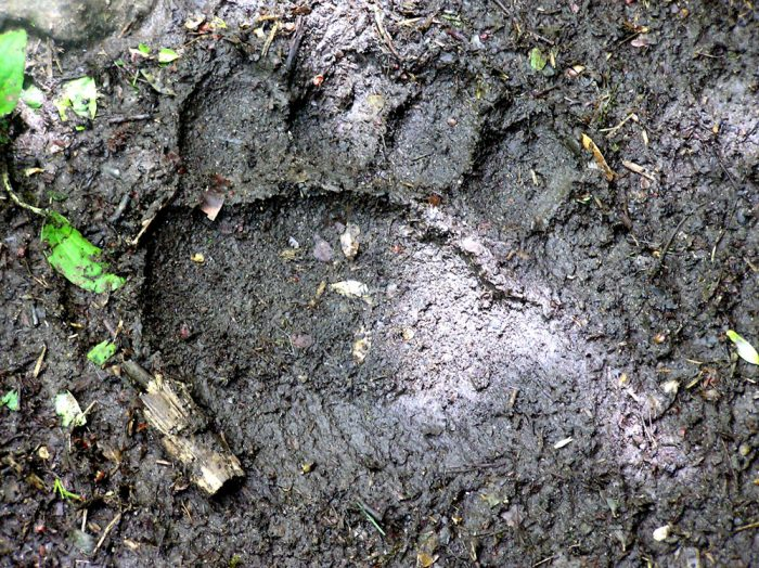 bear footprint seen in Pyrenees