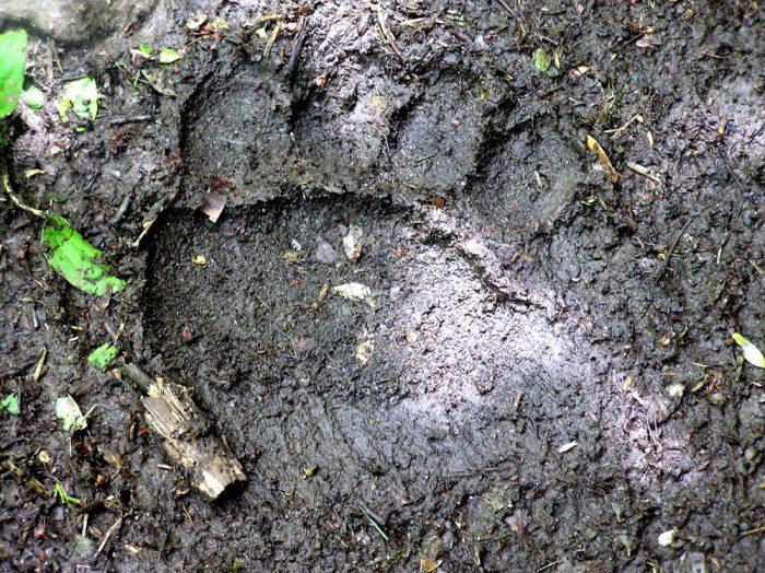 bear footprint seen in Pyrenees