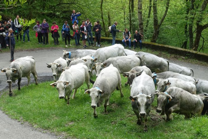 Transhumance with cows