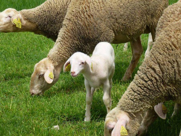 Brebis et agneau dans les Pyrenees
