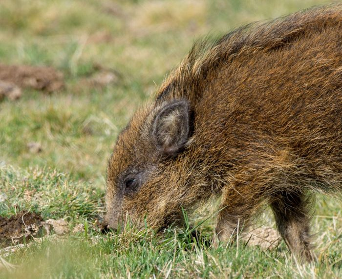Sub-adult wild boar (bête rousse in France) © Laurence Terminet