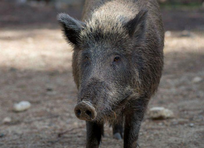 Wild boar © Laurence Terminet