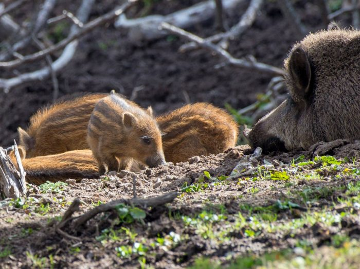 Young wild boar also known as humbugs © Laurence Terminet