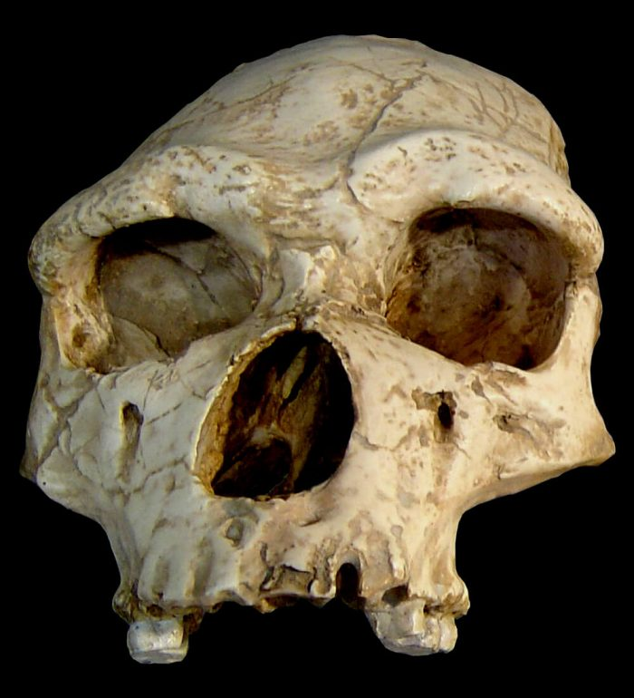 Tautavel skull homo erectus [source Wikipedia Luna04]