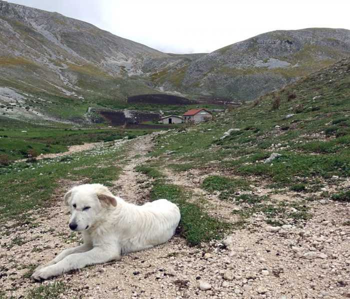 Abruzzo sheepdog on its day off. If there were sheep here it would be making sure we didn't approach them.
