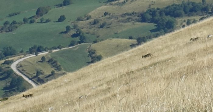 Wolves on Monte Rotella, 2100m above sea-level