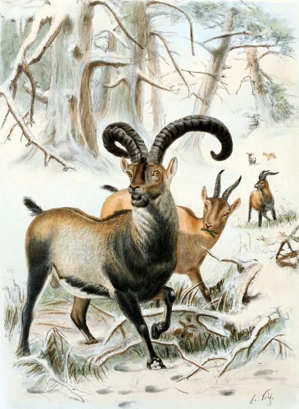 Pyrenean ibex (capra pirenaica pirenaica)