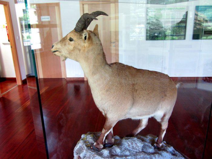 Celia, the last Pyrenean ibex