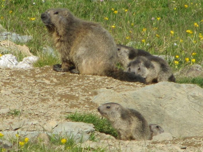 Marmots in Catalonia