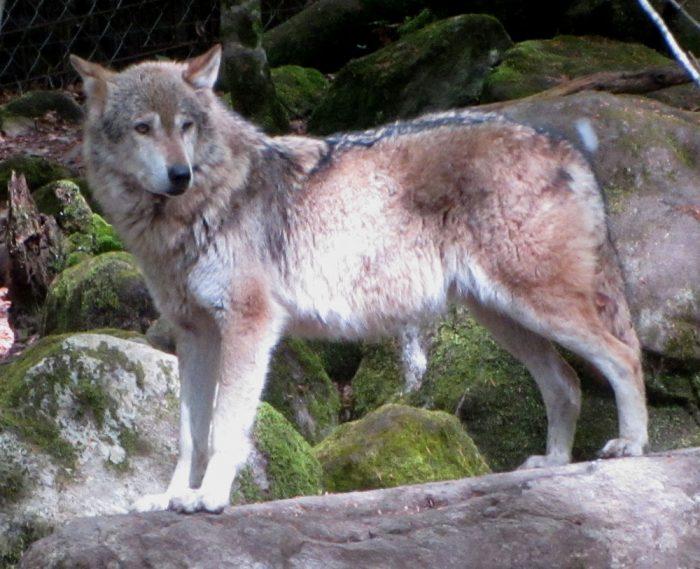 Wolf at La Maison des Loups, Orlu, Ariège