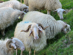 basco-bearnaise sheep