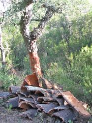 cork oak near the Mediterranean