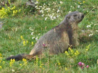 Marmottes (groundhogs) were reintroduced into the Pyrenees in 1948