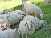 Basco-Béarnaise sheep in the Basque country