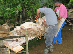 sheep shearing in the Basque country