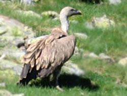 griffon vulture near Gourette