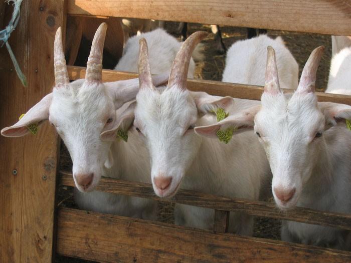 Chèvres au Refuge de Rouze